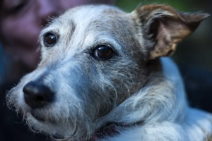 grey faced JRT dog