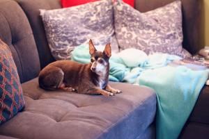 old dog on sofa